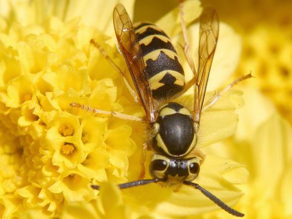 Echte Wespe (Foto: Jon Sullivan of PDPhoto.org)