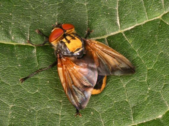 Männchen der Goldschildfliege (Foto: Joachim Ziegler, Museum für Naturkunde Berlin)