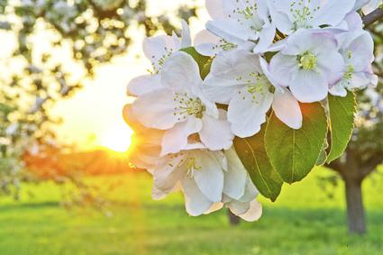 Apfelbaum Blüten (Foto: Bernd Leitner)