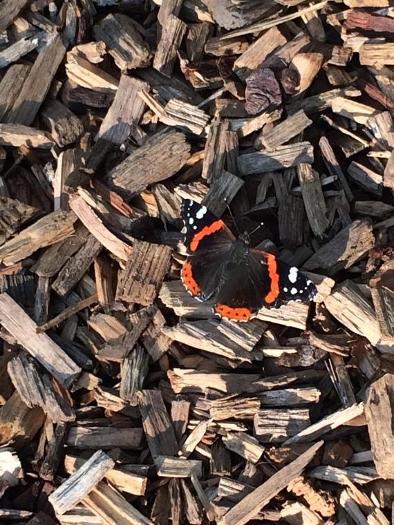 Schmetterling - Foto: Vanessa Atalanta