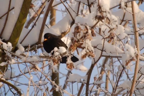 Amsel auf verschneitem Ast - Foto: Hutter