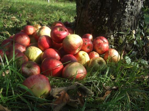 Apfelernte auf einer Streuobstwiese - Foto: Hutter