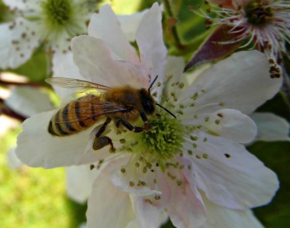 Fleißige Biene - Foto: Pixelio