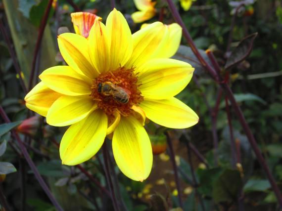 Honigbiene - Foto: Kagerer