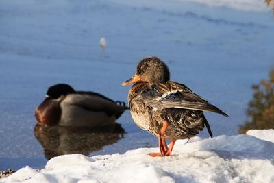 Ente nach Eisbad - Foto: Petra Dirscherl/pixelio